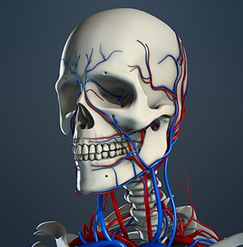 Realistic, detailed, medically and anatomically accurate model of Male Human Skeleton and Circulatory System