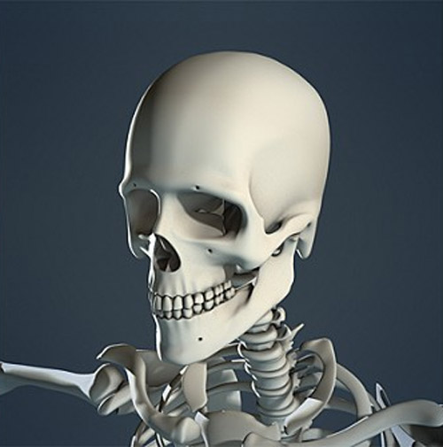 Realistic, detailed, medically and anatomically accurate model of Human Skeleton without textures.