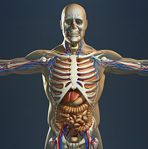 Realistic, detailed, medically and anatomically accurate model of human male body anatomy and internal organs