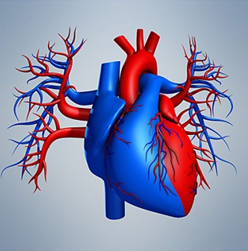 Realistic, detailed, medically and anatomically accurate model of Human Heart