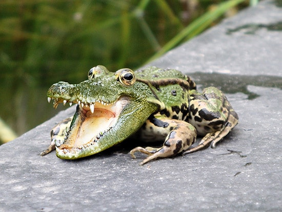 Combine a Crocodile and a Frog in Photoshop